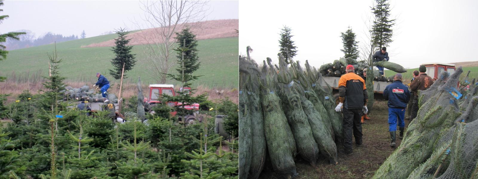 Derfældes træer